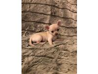 Pure Breed Chihuahua Puppies