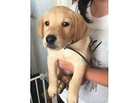 Pedigree Labrador Puppy, KC Registered and Microchipped