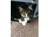 Male tabby x ragdoll kitten