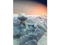 3 bearded dragons and vivs
