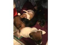 Jug x puppies
