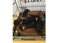 JACK RUSSELL X PATTERDALE TERRIER PUPPIES