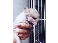 (✿◠‿◠) Baby Chinchilla For Sale