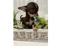 Ready now KC Registered Chihauhau puppy chocolate boy and girl