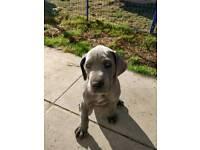 Kc Blue Great Dane Puppies