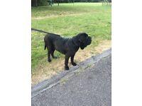 Neapolitan Mastiff Black Female For Sale - KC Registered