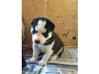 KC Registered siberian husky puppies!