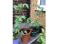 Money maker tomato plants
