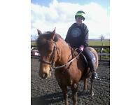 13.1hh Irish Pony, Liver Chestnut, Gelding, Rising 13