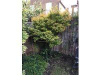 A range of garden shrubs and trees for sale - Acer, Apple, Japanese Cedar, Euonymous, Rosemary