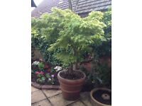 2 Metre High Acer Tree in Large Earthenware Pot