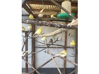 canaries for sale in somerset