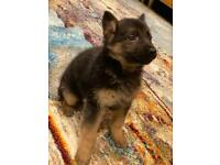 German Shephard Puppy