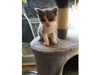 Blue/white male Ragdoll x Persian kitten