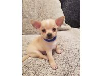 Kc registered chihuahua pups short haired and lots of fun come fully vet checked