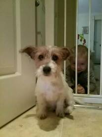 Jack Russell puppies puppy for sale