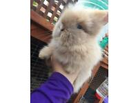 Orange VM Harli Lionhead Buck