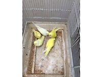 Beautiful baby Budgies, 3 new unused cage for extra cost