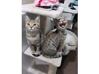 Beautiful leopard spot twin girl kittens READY NOW
