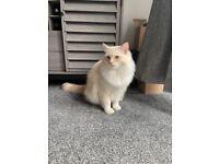 1yr Old Ragdoll male Cat