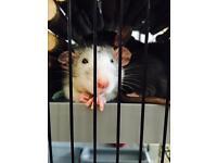 2 Male Dumbo rats
