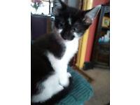 boy kitten for sale