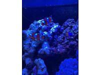 Marine fish royal gramma+ pulsing Xenia coral