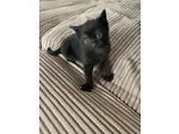 Kitten (black) -(SOLD)