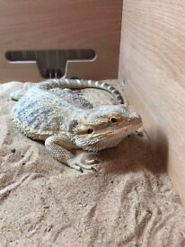 Male Bearded Dragon with Full Vivarium Set-Up