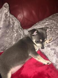 One blue baby chihuahua boy left from a litter of three