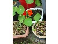 Plant - Herb - Nasturtium