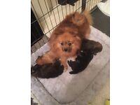 Pomchi puppies - £450.00