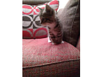 Tabby Kitten available 24th December