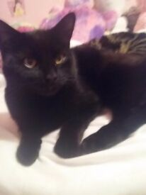 Missing black female cat neutered and chipped