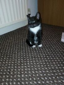 black and white kittens for sale