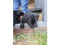 KC REGISTERED BLACK LABRADOR LAB PUP PUPPIES