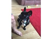 9 month old chunky male French bulldog