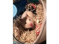Hamster babies looking to secure homes!