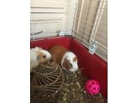 Two guinea pigs for sale.