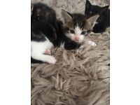4 Beautiful kittens for sale 2x boys 2x girls