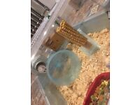 Winter white female dwarf hamster (includes cage)