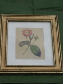 Colour Print of a Jamaican Rose/Blakea Trinervia by Gisela Graham