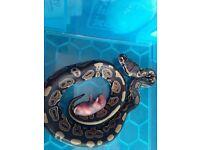 Baby Snake! Doesn't bite!