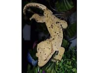 Male patternless dalmatian crested gecko.