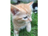 8 week old male ginger or ginger and white kitten toilet trained.