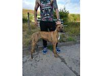 Bull x Greyhound Bitch XL Bully Bitch Patterdale Fell Terrier