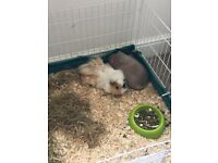 Four beautiful piggies in two bonded pairs can go together or separately