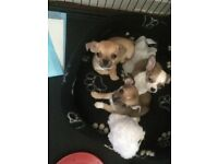 1 gorgeous male chihuahua left for sale