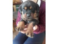 female pur bred rottweiler puppy