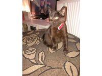 Lovely girl kitten for sale